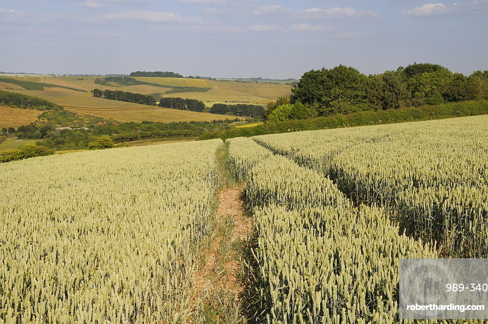 Ripening wheat (Tricticum aestivum) with pastureland, arable crops, trees and the Ridgeway in the background, Marlborough Downs, Wiltshire, England, United Kingdom, Europe