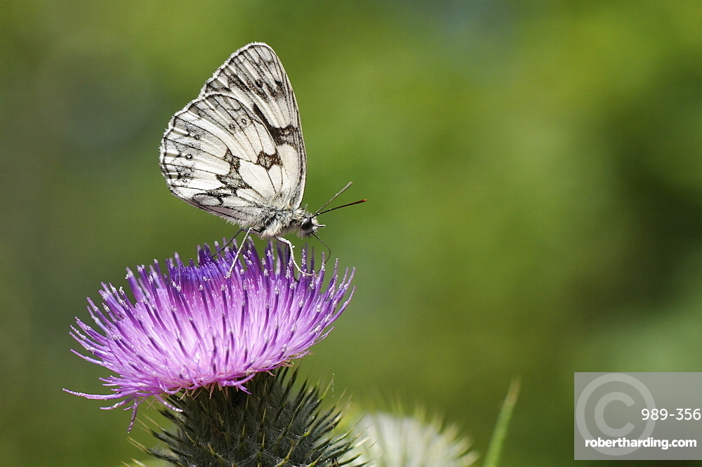 Marbled white butterfly (Melanargia galathea) foraging on spear thistle (Cirsium vulgare), Marlborough Downs, Wiltshire, England, United Kingodm, Europe