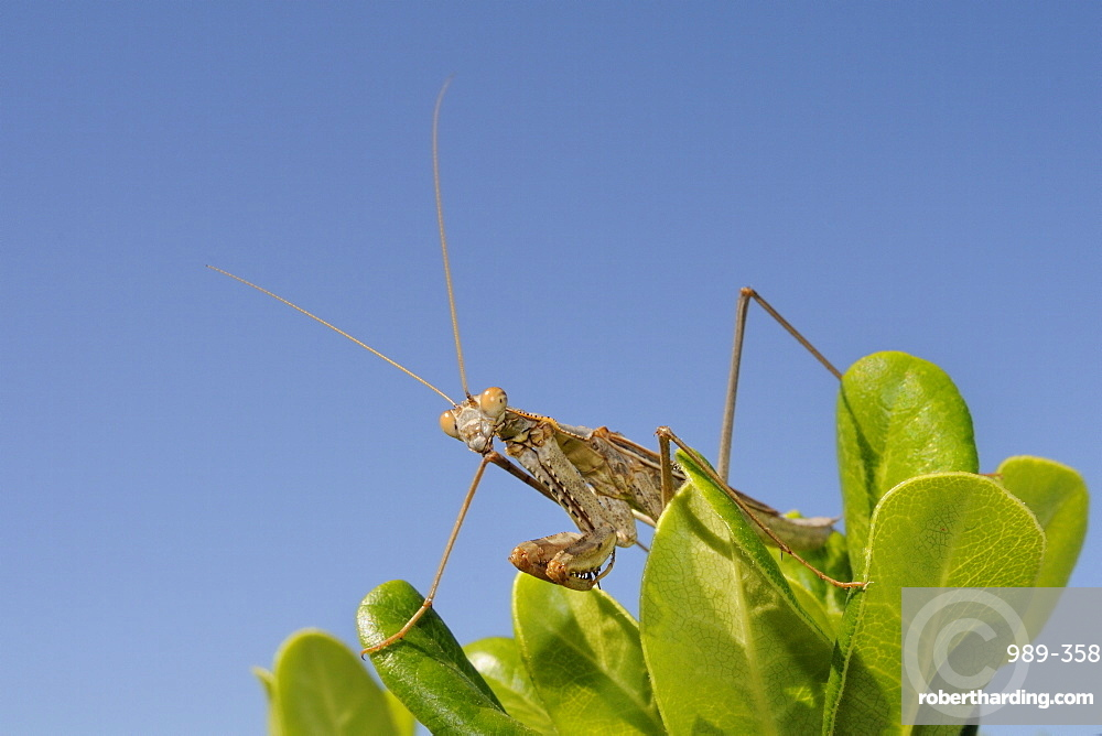 Low angle view of a Praying mantis (Mantis religious) hunting on a bush, Greece, Europe