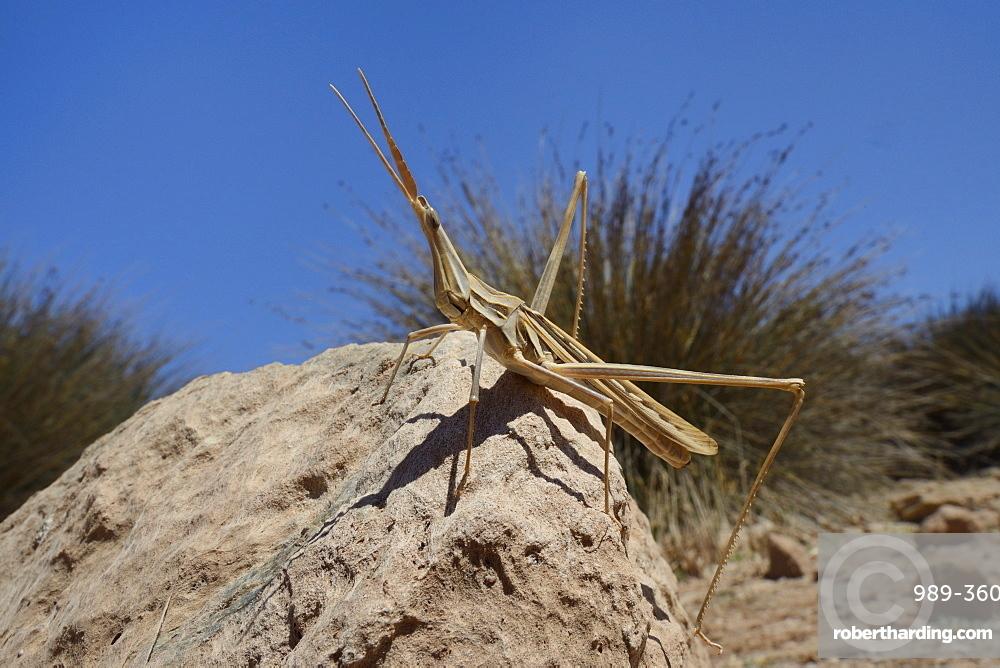 Low angle view of a male slant-faced grasshopper (big nose grasshopper) (long-nosed grasshopper) (Truxalis nasuta) standing on a boulder, Crete, Greece, Europe