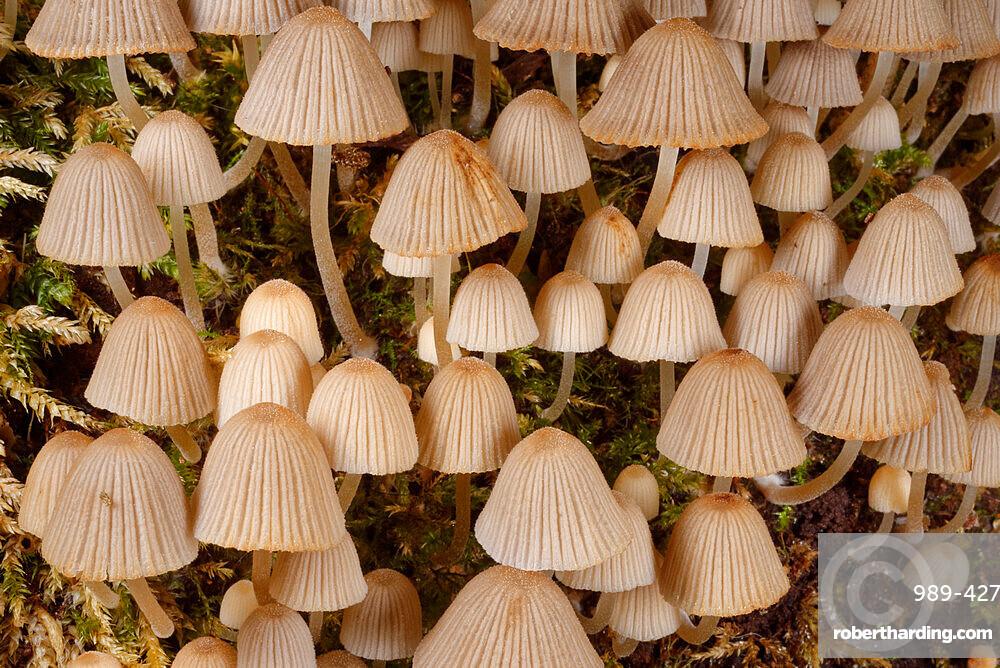 Fairies' bonnets (Fairy inkcap) fungi (Coprinellus disseminatus) clump on a rotting tree trunk, Gloucestershire, England, United Kingdom, Europe