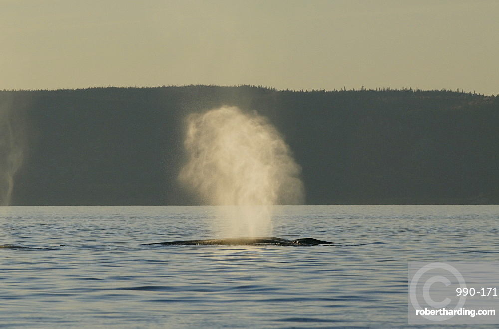 Tiny water droplets catch the last light of the setting sun as this Finback whale (Balaenoptera physalus) exhales blasting the air compressed in its huge lungs high into the air. St. Lawrence estuary, Canada