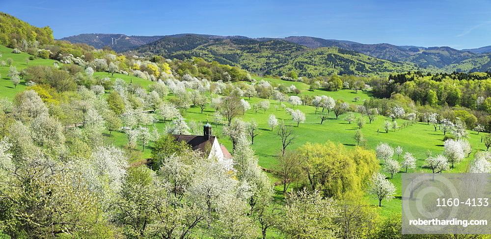 Cherry blossom at Berghausen Chapel, Ebringen, Markgrafler Land, Black Forest, Baden-Wurttemberg, Germany, Europe