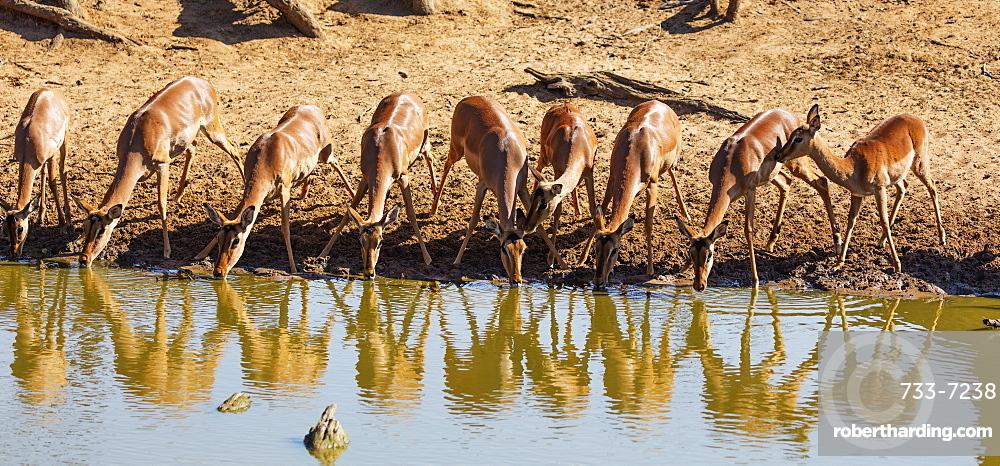 Impala (Aepyceros melampus), Mkhuze Game Reserve, Kwazulu-Natal, South Africa, Africa