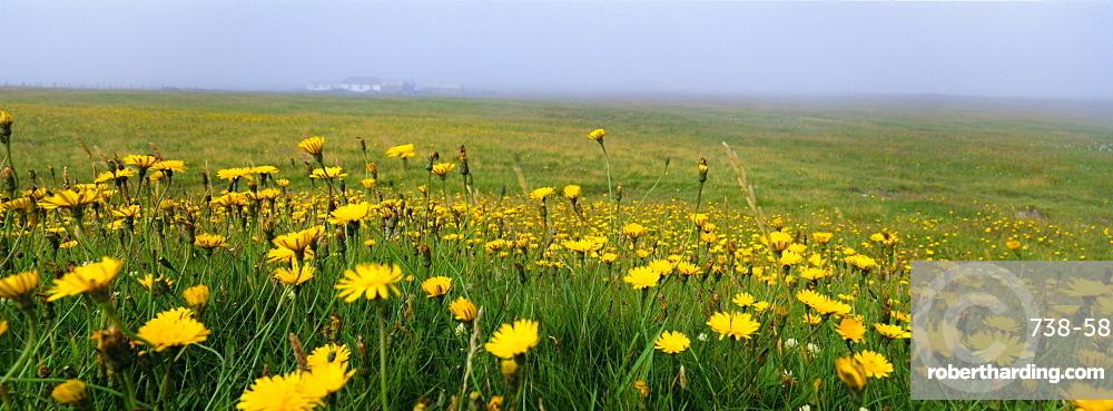 Panoramic view, corn marigolds, Fair Isle, Shetland Islands, Scotland, UK, Europe