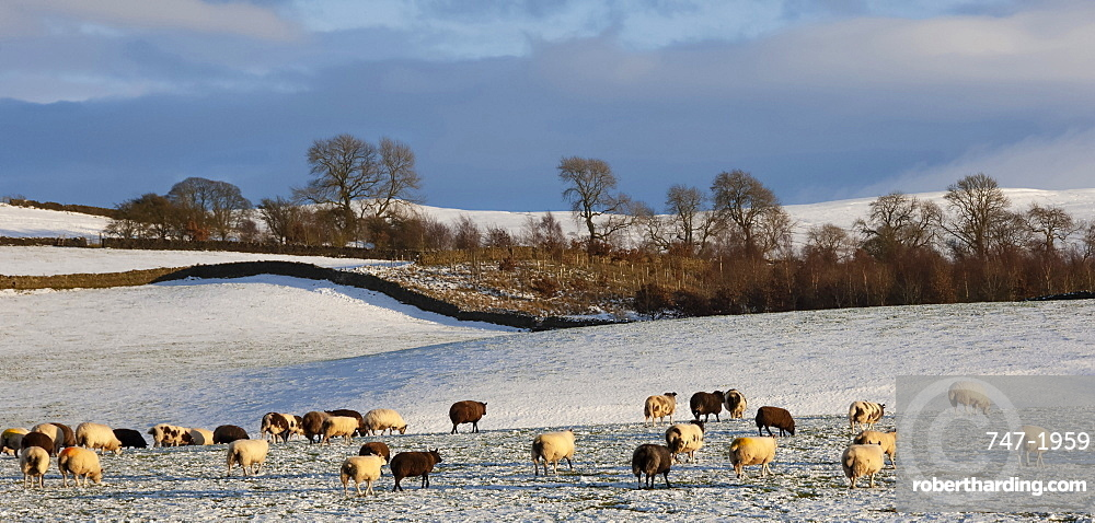 Sheep in snow, Eden Valley, Lower Pennines, Cumbria, England, United Kingdom, Europe