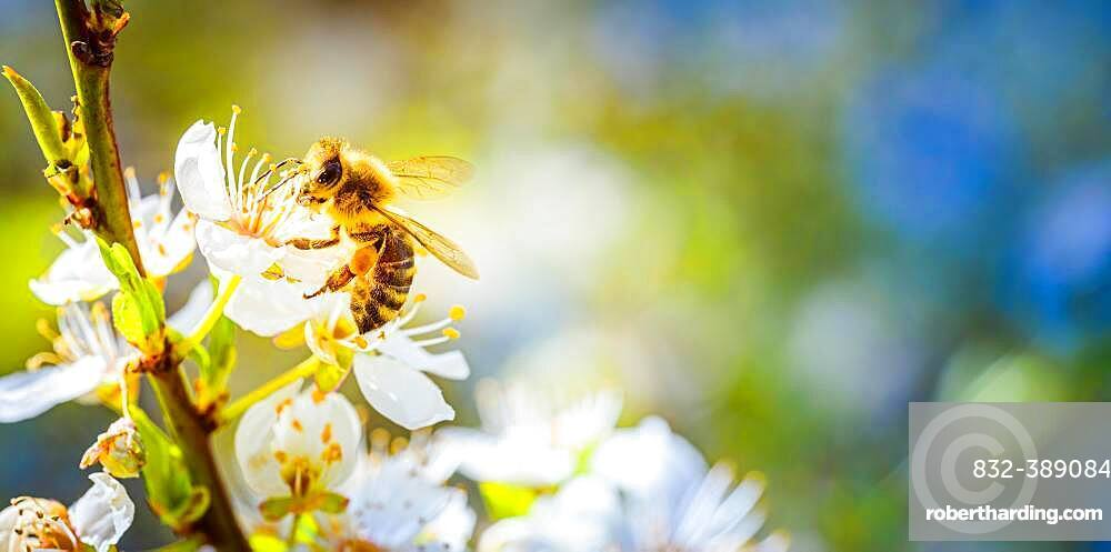 Close-up of a honey bee collecting nectar and pollen on the white flowers of a cherry tree, Austria, Europe