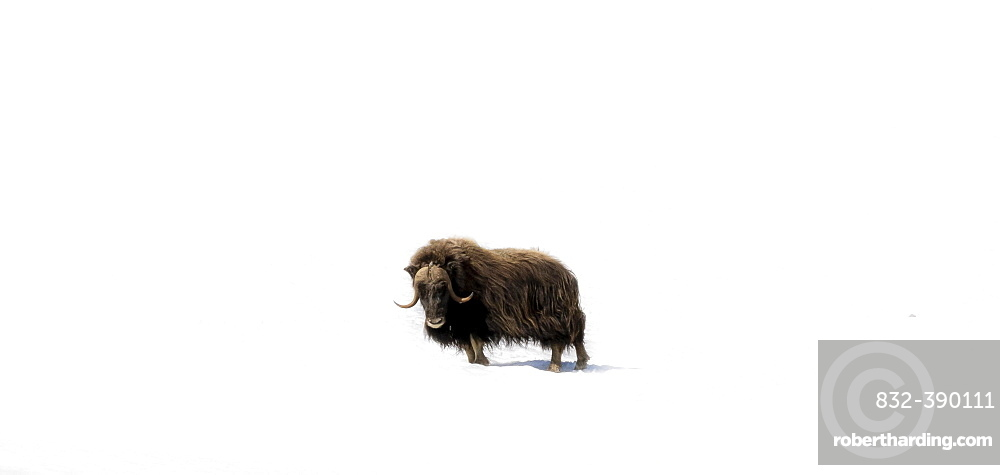 Musk ox (Ovibos moschatus) in the snow, Dovrefjell Sunndalsfjella National Park, Norway, Europe