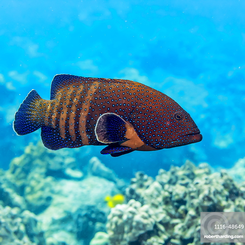 The Peacock Grouper (Cephalopholis argus) was deliberately introduced to Hawaii and is now considered an invasive species, Island of Hawaii, Hawaii, United States of America