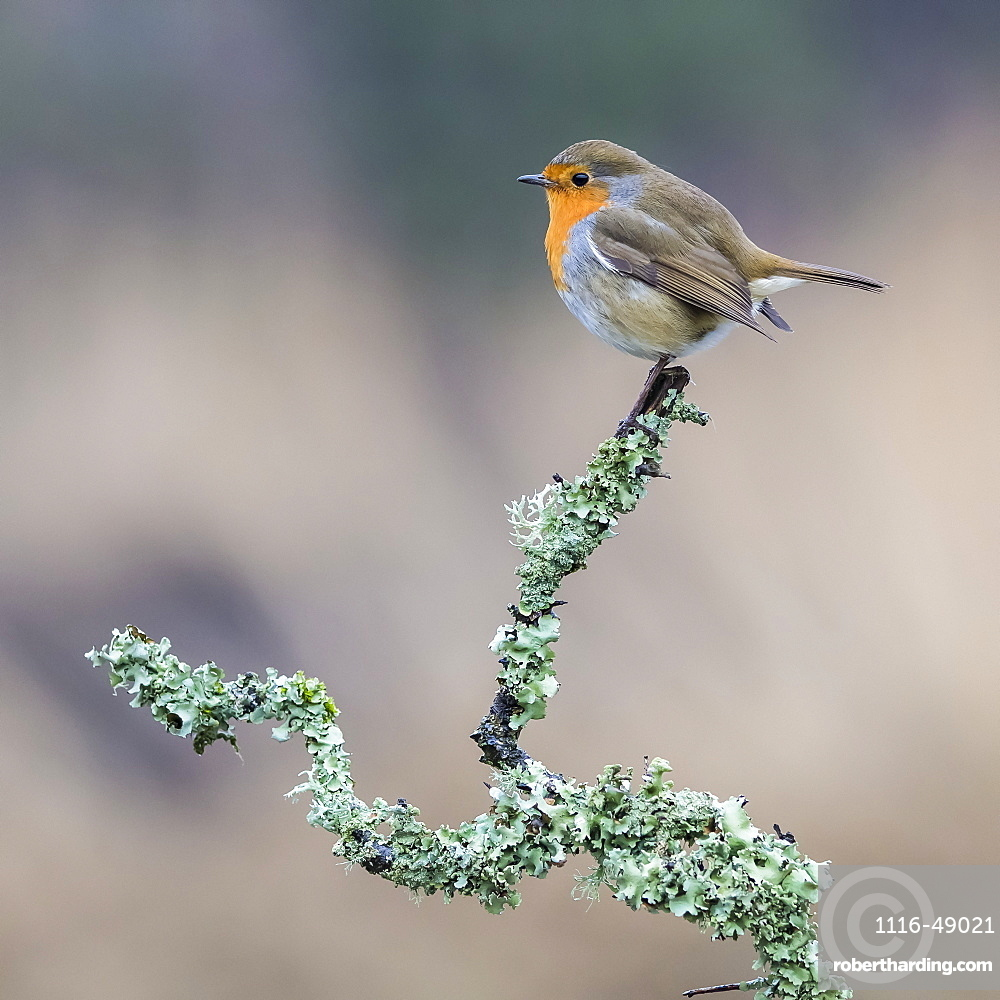 A colourful Robin (Turdidae) perched in a tree branch covered in foliage, Dumfries and Galloway, Scotland