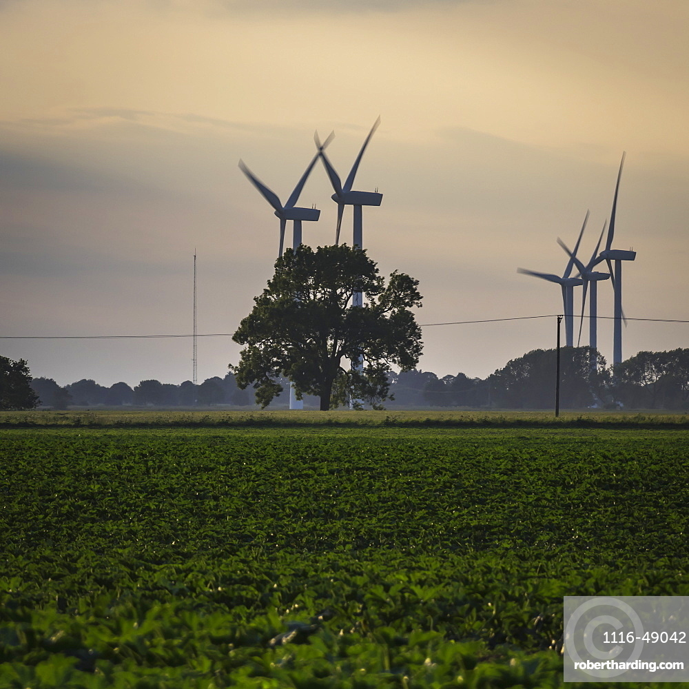 Wind turbines with a growing crop in the foreground at sunset, Christchurch, Cambridgeshire, England