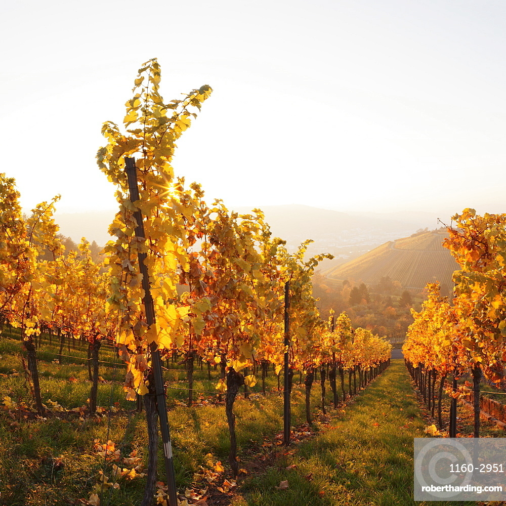 Vineyards in autumn at sunset, Stuttgart, Baden-Wurttemberg, Germany, Europe