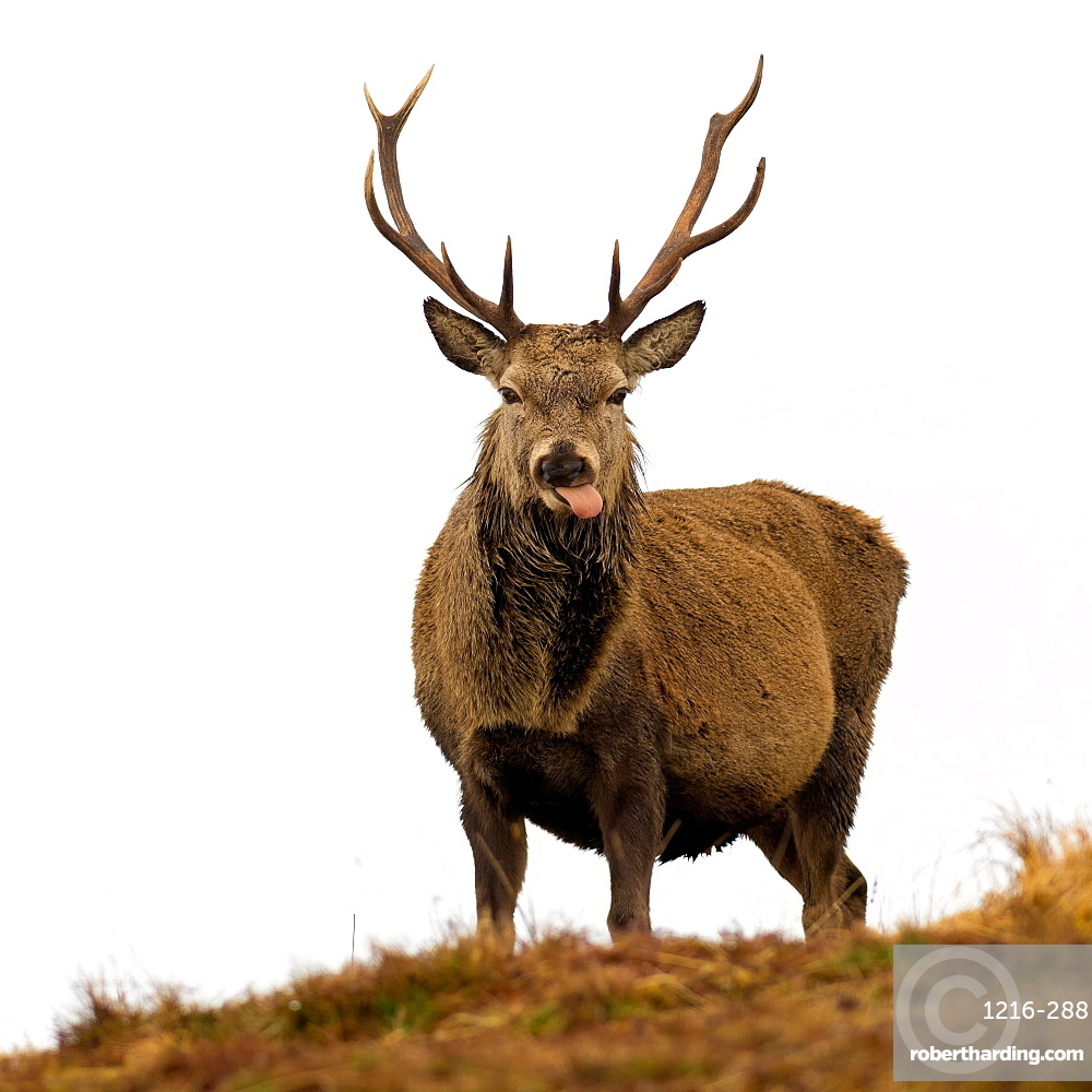 Red Deer Stag sticking out tongue, Scottish Highlands, Scotland, United Kingdom, Europe