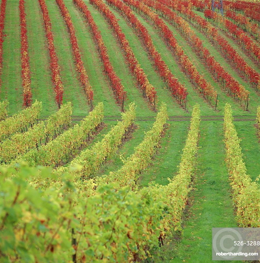 Vineyard, Dorking, Surrey, England, UK, Europe