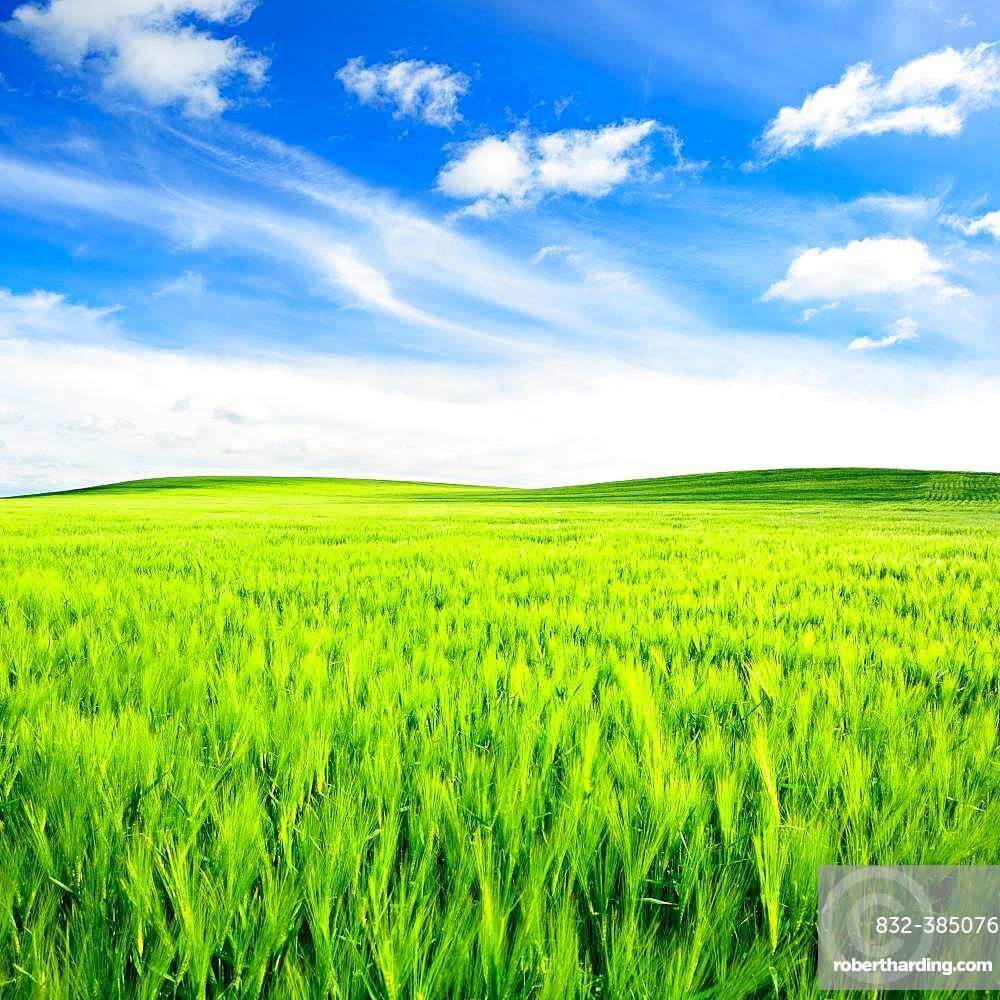 Green field with fair weather clouds, hilly landscape with barley field in spring, Saalekreis, Saxony-Anhalt, Germany, Europe
