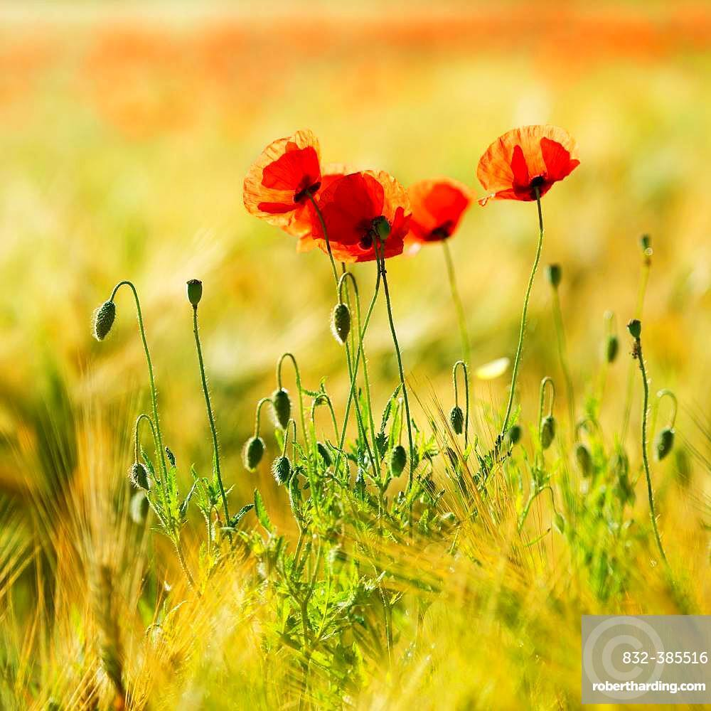Red Poppy (Papaver) flowers in the barley field, Saxony-Anhalt, Germany, Europe