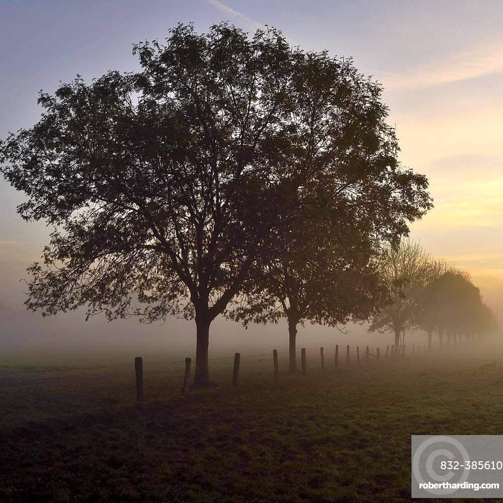 Ash (Fraxinus excelsior) in dawn with morning fog, Rheinberg, Lower Rhine, North Rhine-Westphalia, Germany, Europe