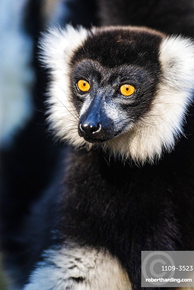 Black and White Ruffed Lemur (Varecia variegata), endemic to Madagascar, Andasibe, Africa