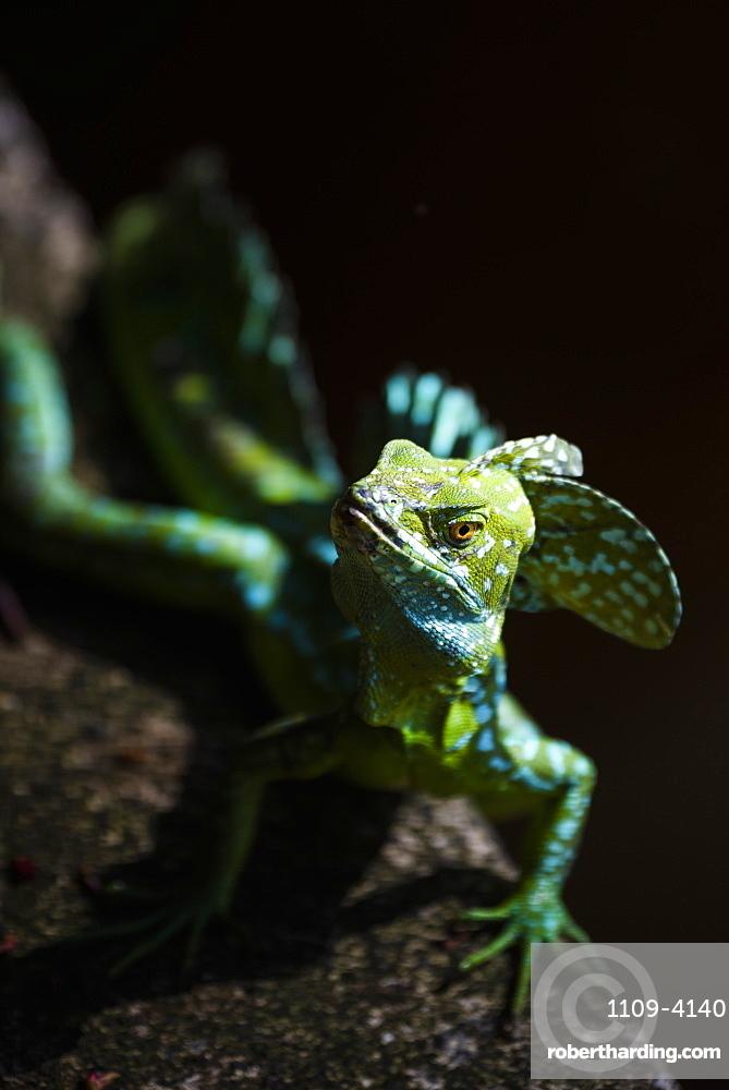 Common Basilisk (Jesus Christ Lizard) (Basiliscus Basiliscus), Tortuguero National Park, Limon Province, Costa Rica, Central America