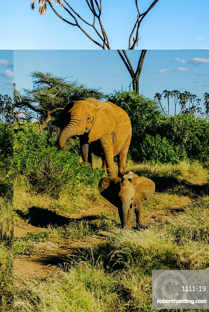 Elephant matriarch and her calf, Samburu National Park, Kenya, East Africa, Africa