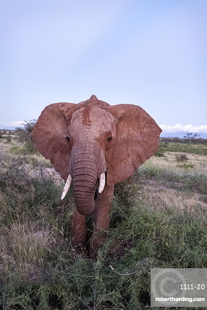 Single, fully grown elephant with tusks, Samburu National Reserve, Kenya, East Africa, Africa