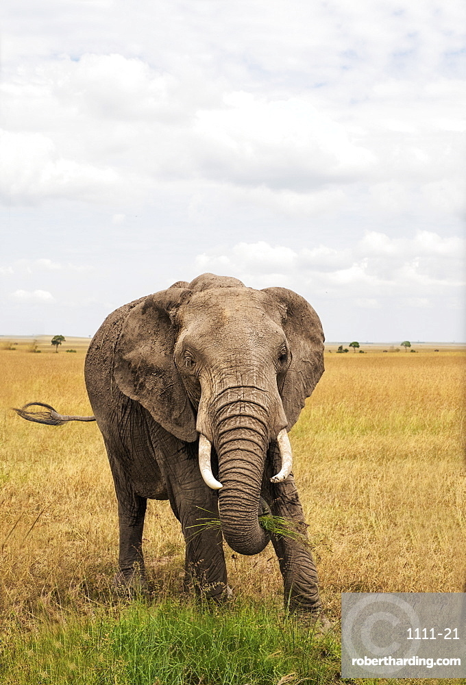 Single, fully grown elephant with tusks, Maasai Mara National Reserve, Kenya, East Africa, Africa