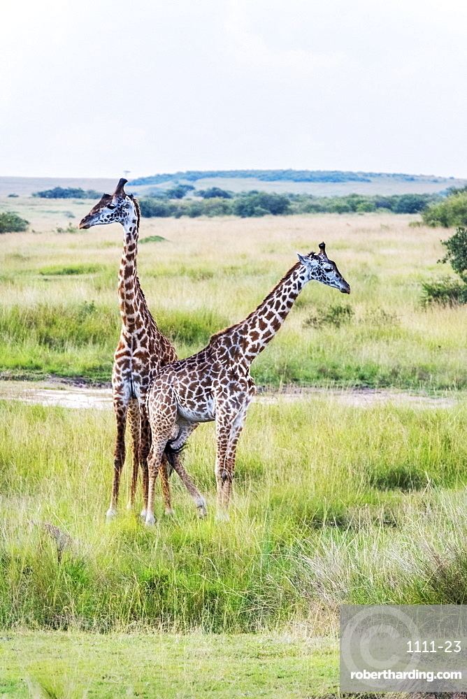 A pair of giraffe, Maasai Mara National Reserve, Kenya, East Africa, Africa