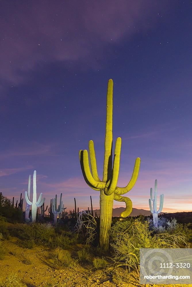 Giant saguaro cactus (Carnegiea gigantea) at night in the Sweetwater Preserve, Tucson, Arizona, United States of America, North America