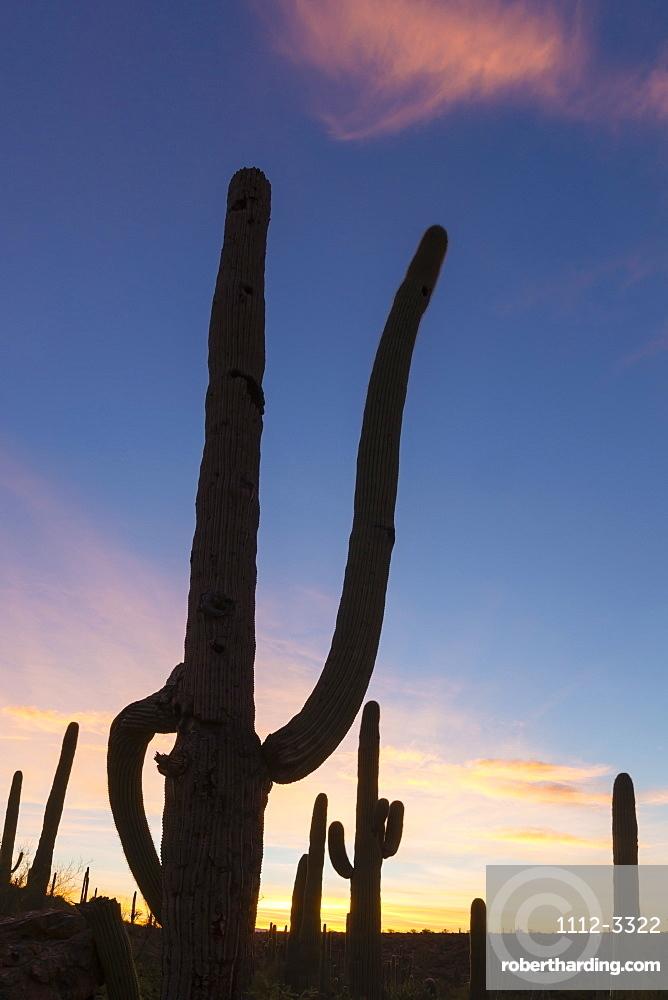 Giant saguaro cactus (Carnegiea gigantea), at dawn in the Sweetwater Preserve, Tucson, Arizona, United States of America, North America