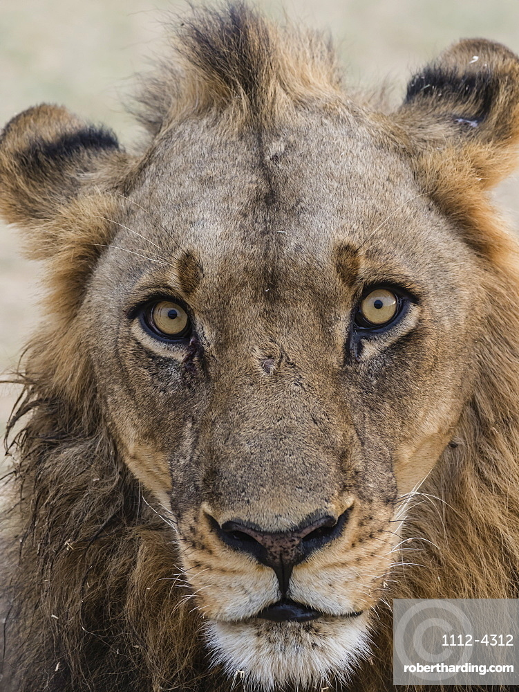 An adult male lion (Panthera leo), South Luangwa National Park, Zambia, Africa
