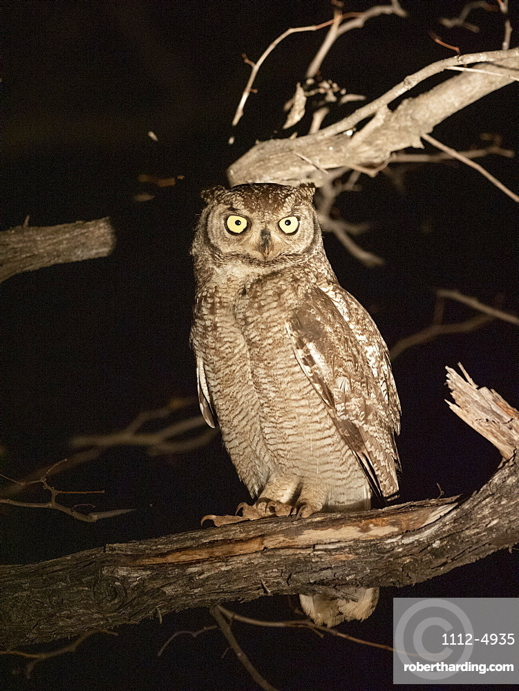 Adult African spotted eagle-owl, Bubo africanus, perched at night in the Savé Valley Conservancy, Zimbabwe.