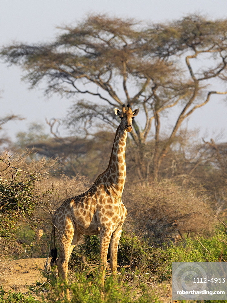 An adult Cape giraffe (Giraffa camelopardalis giraffa), in the Save Valley Conservancy, Zimbabwe, Africa