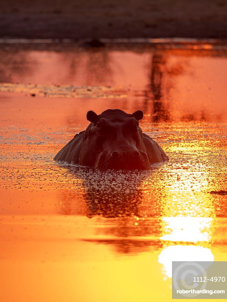 Adult hippopotamus (Hippopotamus amphibius), bathing at sunset in Lake Kariba, Zimbabwe, Africa