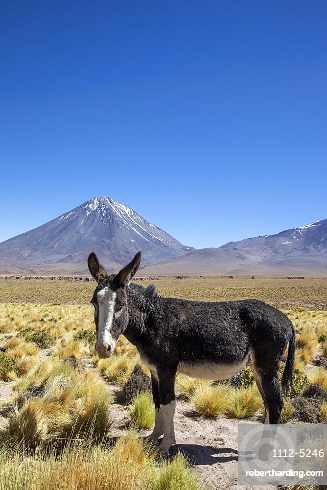 Wild burro (Equus africanus asinus) in front of Licancabur stratovolcano, Andean Central Volcanic Zone, Chile, South America