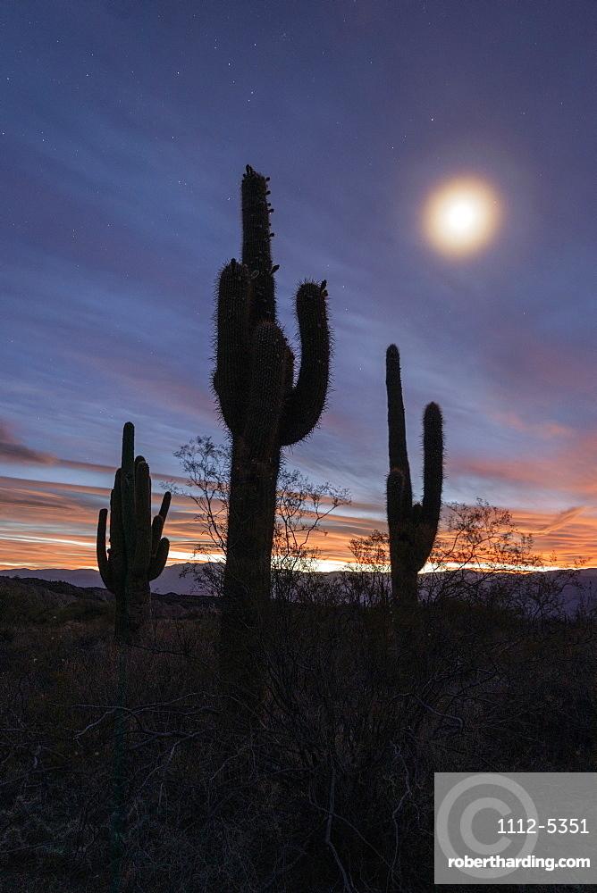 Moonlight on Argentine saguaro cactus (Echinopsis terscheckii), Los Cardones National Park, Salta Province, Argentina, South America