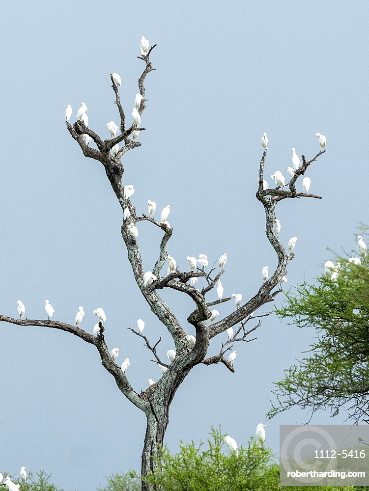 Cattle egrets (Bubulcus ibis), roosting in a tree in Tarangire National Park, Tanzania, East Africa, Africa
