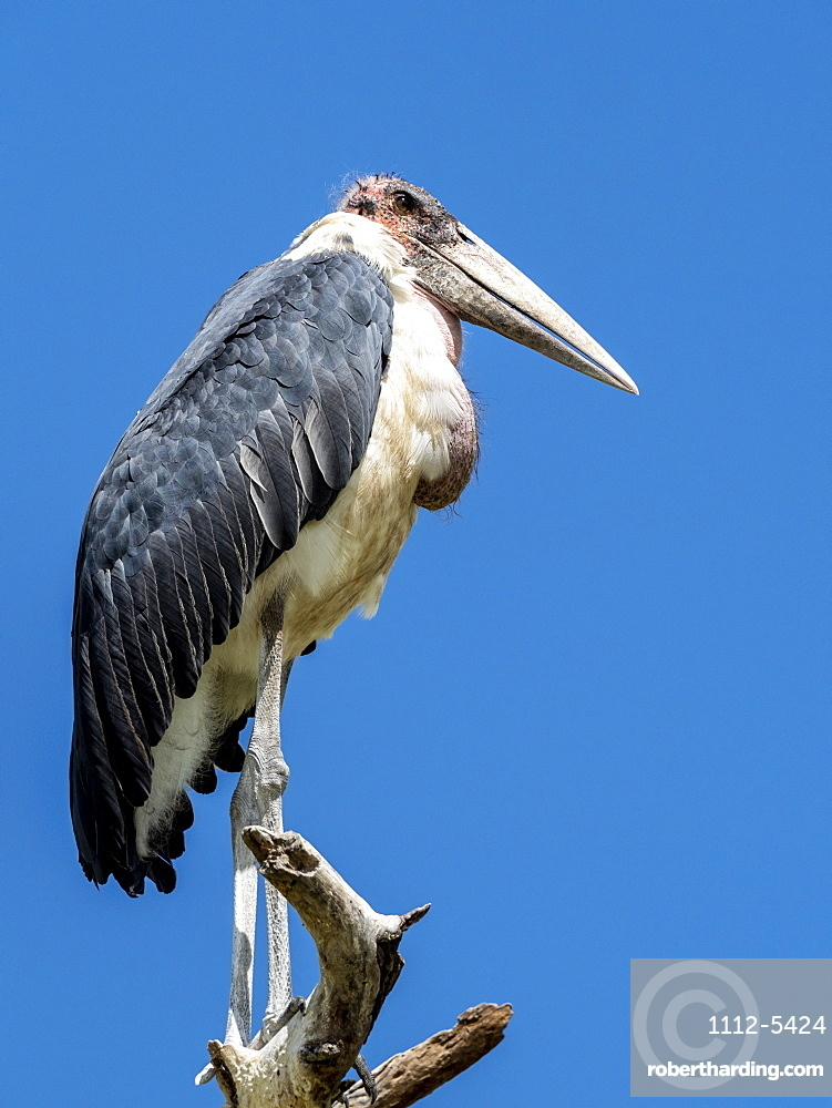 Adult marabou stork (Leptoptilos crumenifer), roosting in a tree in Tarangire National Park, Tanzania, East Africa, Africa