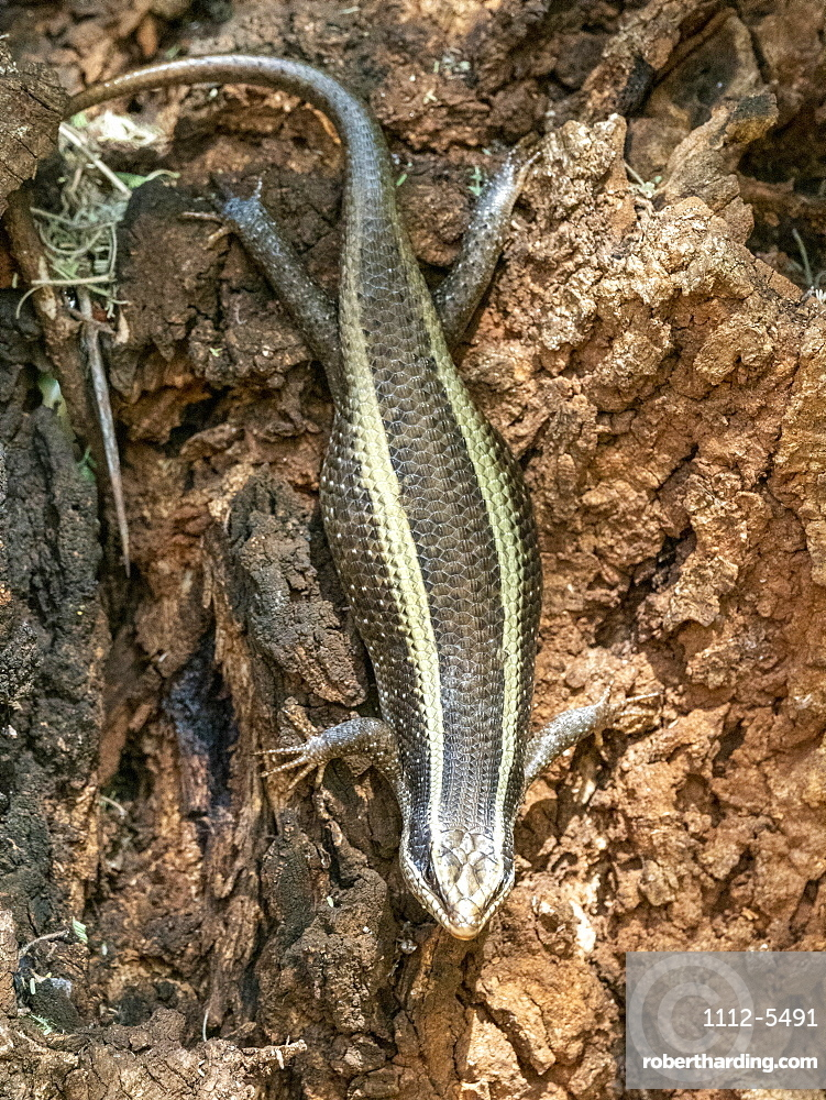 An adult African striped skink (Trachylepis striata), Tarangire National Park, Tanzania, East Africa, Africa