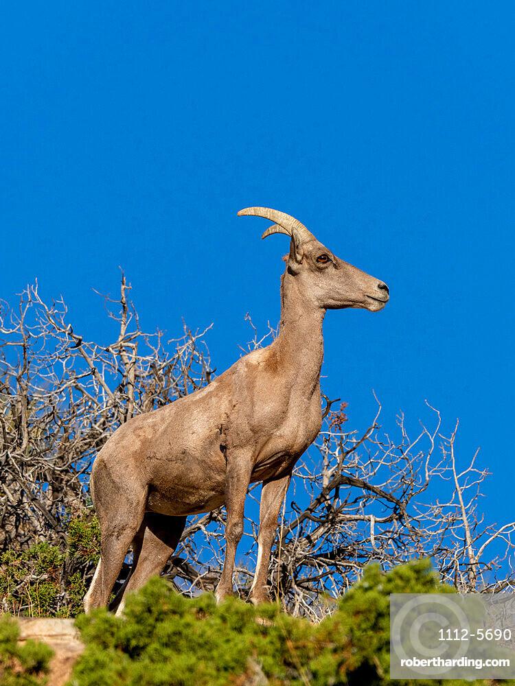 Desert bighorn sheep, Ovis canadensis nelsoni, Joshua Tree National Park, Mojave Desert, California, USA.