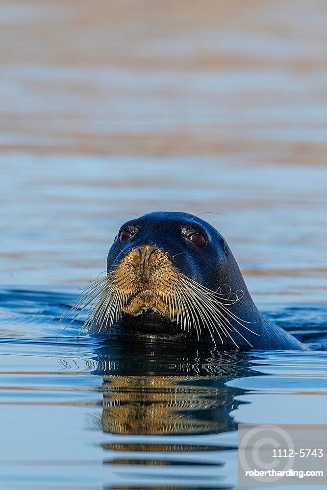 Curious adult bearded seal, Erignathus barbatus, swimming in Makinson Inlet, Ellesmere Island, Nunavut, Canada