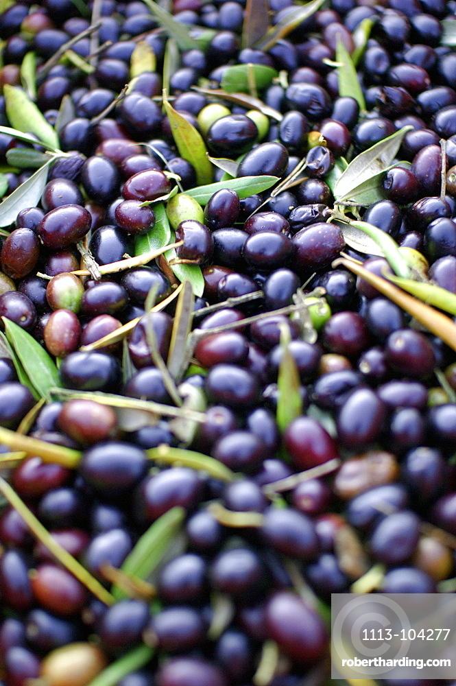 Olives, Umbria, Italy