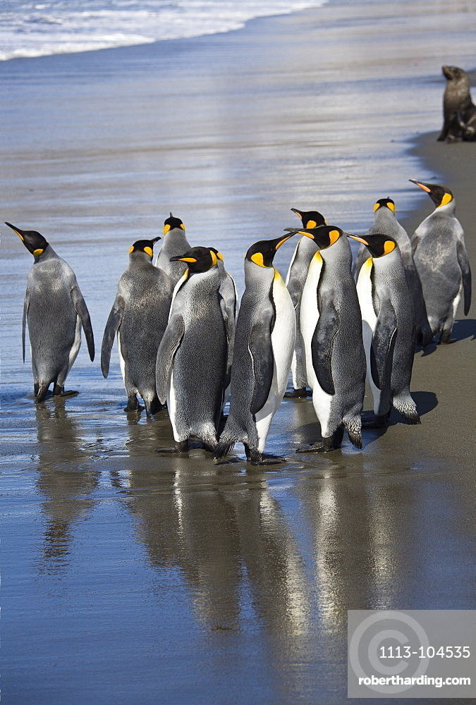 King Penguins on the beach, Aptenodytes patagonicus, St. Andrews Bay, South Georgia, Antarctica