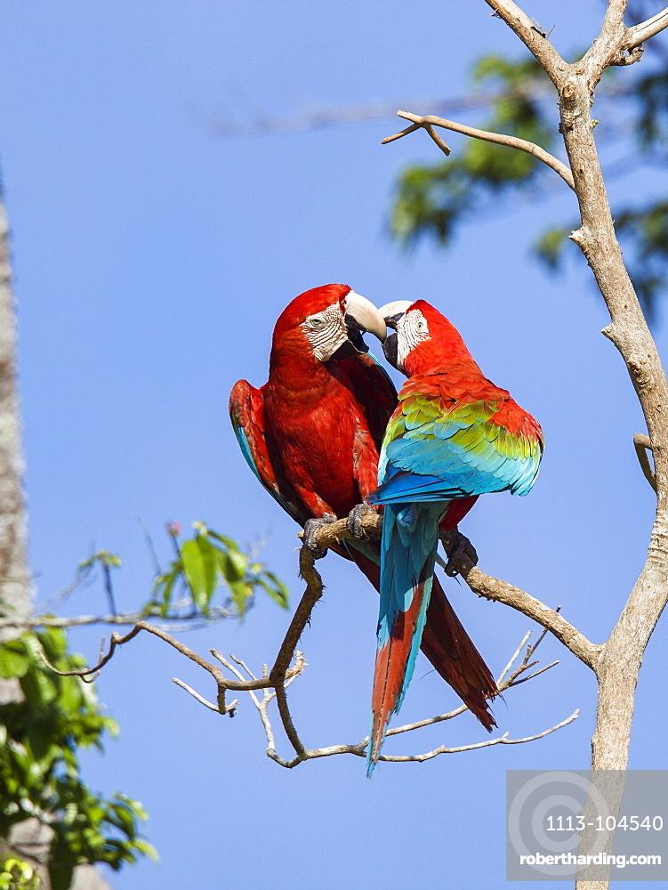 Red-and-green Macaws in rainforest, Ara chloroptera, Tambopata National Reserve, Peru, South America