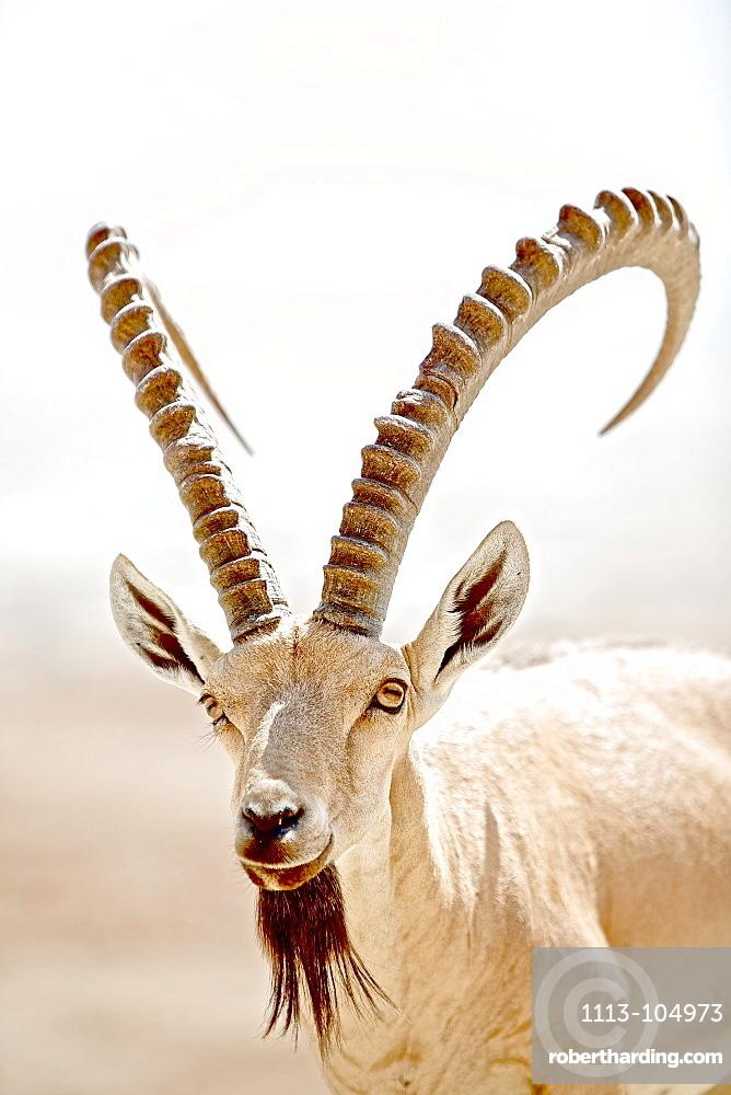 Wild goat, Masada, Dead Sea, Israel