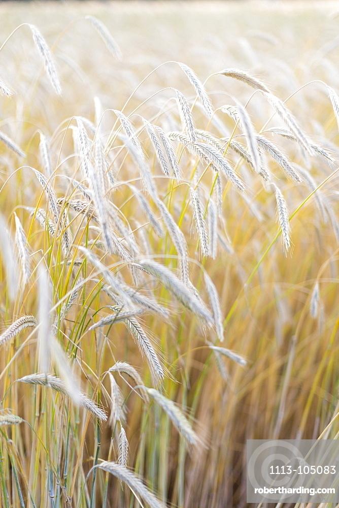 Ears of corn in a field, Wheat, rye, Baltic sea, Bornholm, Denmark, Europe