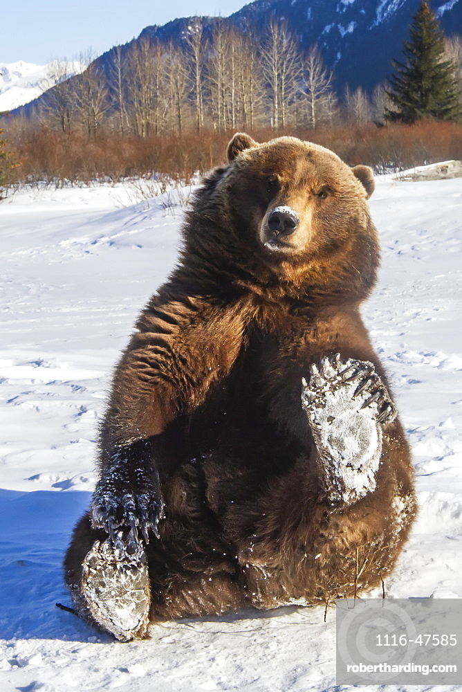 Grizzly bear (Ursus arctos horribilis) is holding up her snowy paw and looking at camera, captive. Alaska Wildlife Conservation Center, Portage, Alaska, United States of America