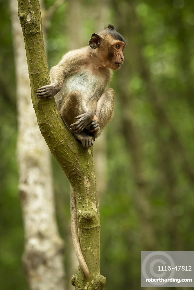 Long-tailed macaque (Macaca fascicularis) sits looking out from tree, Can Gio, Ho Chi Minh, Vietnam