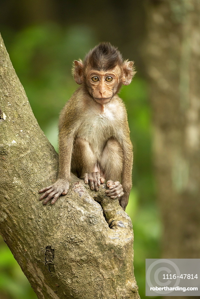 Baby long-tailed macaque (Macaca fascicularis) in a tree facing the camera, Can Gio, Ho Chi Minh, Vietnam