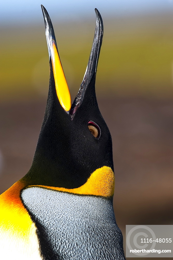 Close-up of King Penguin's (Aptenodytes patagonicus) head looking up, showing detail of coloured plumage, Volunteer Point, Falkland Islands