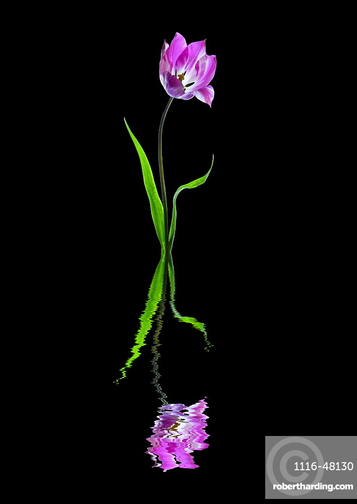Purple and white tulip reflected in water on a black background